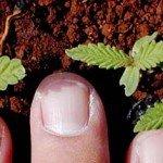Sprouting hemp plants.