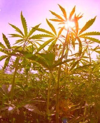cannabis sun