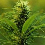 Marijuana-plant--007
