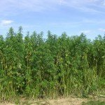 legal_hemp_field_near_braunschweiglower_saxony