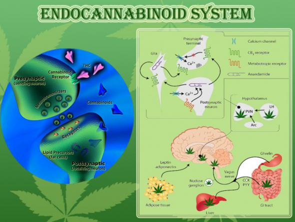 Can Cannabis Prevent Cancer