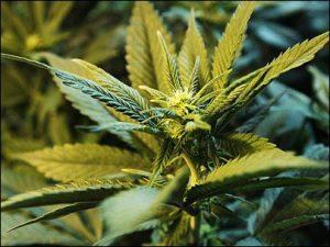 121108_marijuana_3_405