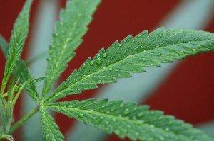 marijuana25n-2-web
