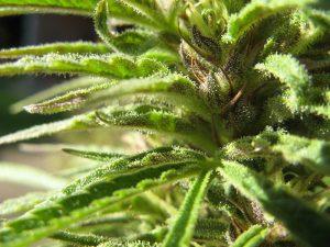 cannabis bud wiki