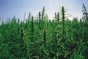 Industrial_Hemp-300x200.jpg