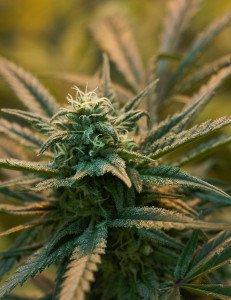 Marijuana_Plants-3