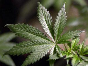 marijuana2008