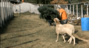 In this photo a sheep is attempting to eat a cannabis plant being hauled away in a drug raid.