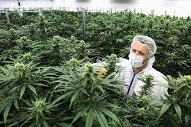 A Complete Quick Guide About Autoflower Medical Marijuana 2021